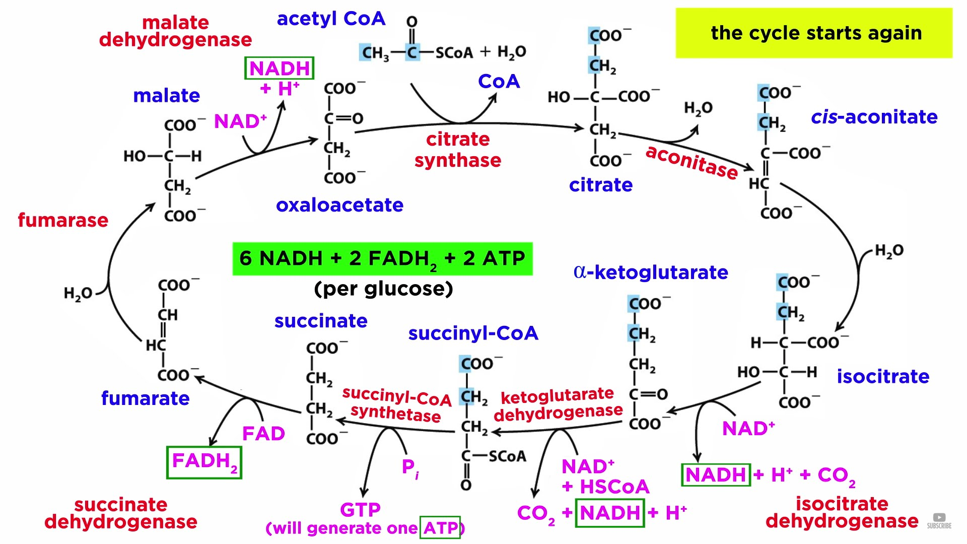 Fmem Cghgda on Cellular Respiration Diagram Mitochondria